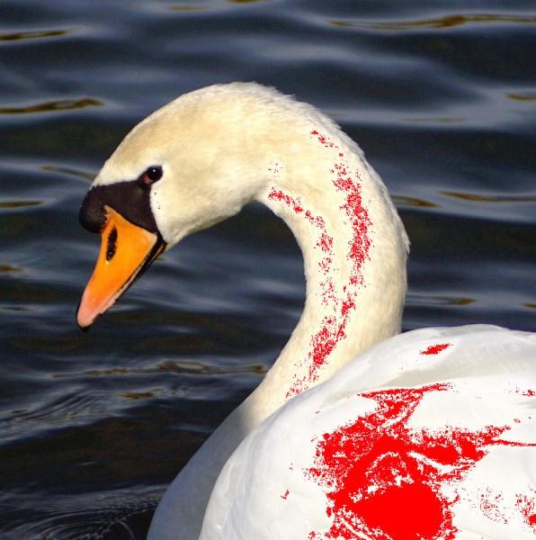 Male Swan by EvasiveSkydiver