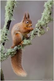 Red squirrel and lichen