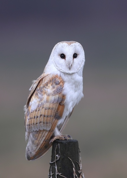 Barn Owl by Karen_Summers