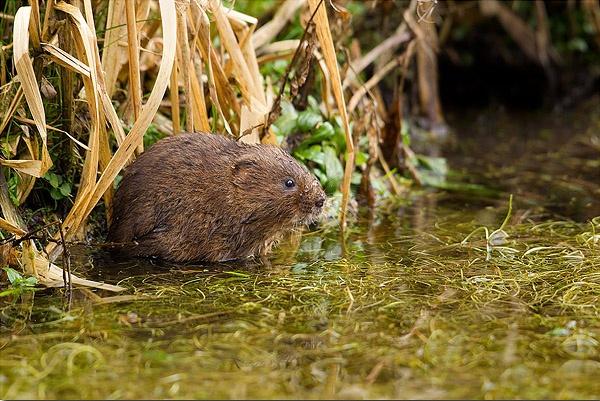 Water Vole in habitat by Guy_Rogers