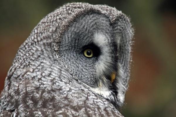 Great Grey Owl by CraigSev