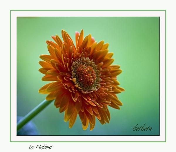 Gerbera by LizMutimer