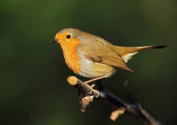 Spotlit Robin by Samuel_Aron