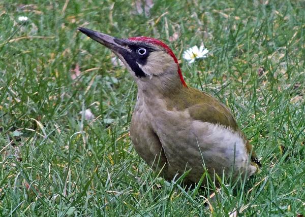 Green Woodpecker by JohnJenkins99