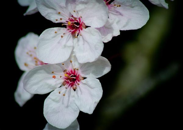 Cherry Blossom by southpole