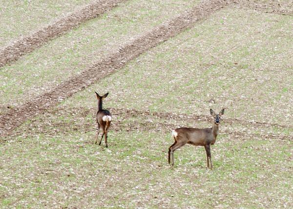 Roe Deer by southpole