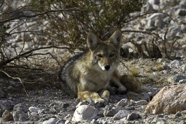 Wild Coyote - Death Valley by tonpla