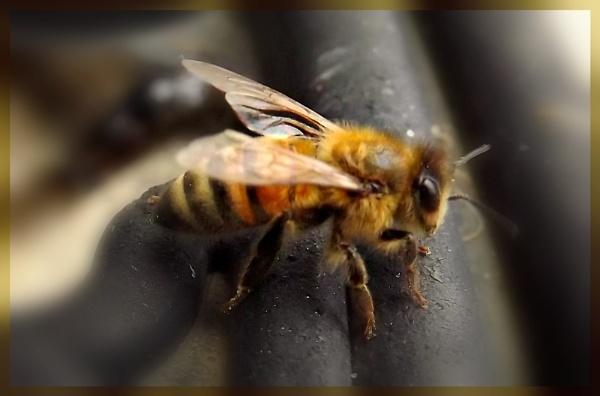 Honey Bee by butterflydiva72