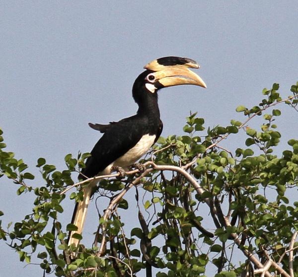 Malabar Pied Hornbill by czech
