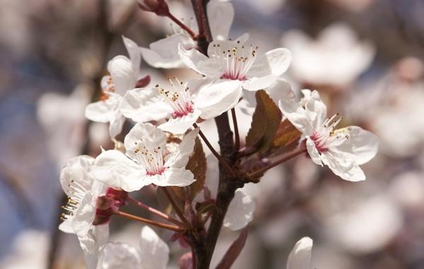 Spring blossom by jadaszek