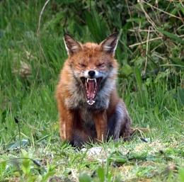 The Yawning Fox