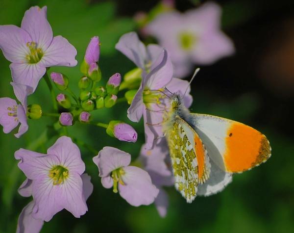 Orange Tip butterfly by Carl_Gough