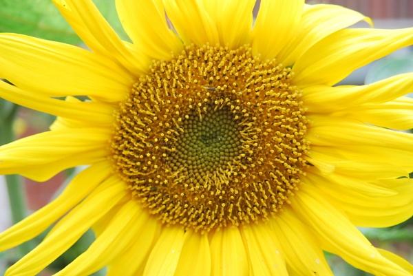 Sunflower by ShirleyF