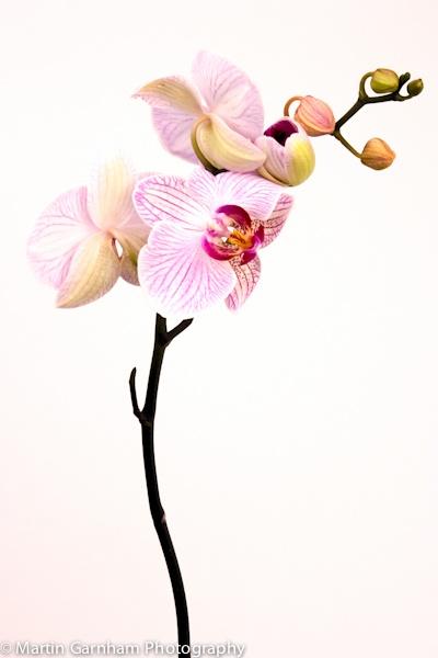Pink Orchid by garnham123