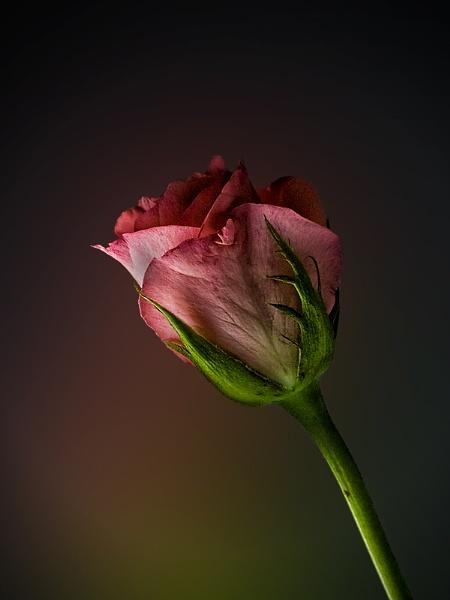 Pink by Big_Beavis