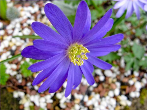 Anemone Blanda by Mavis