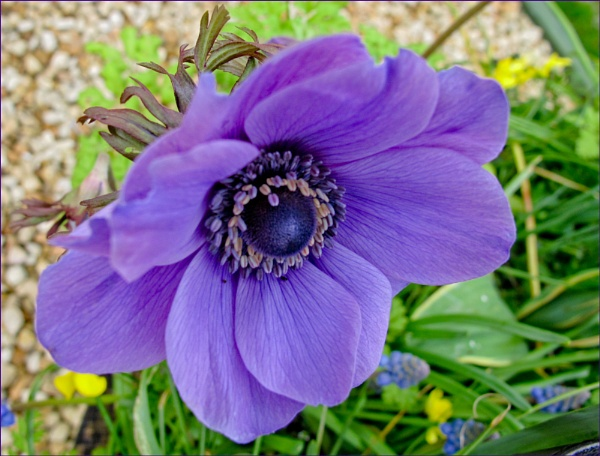 Blue Anemone by Mavis