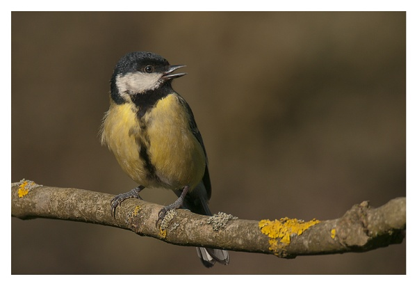 Great Tit by chase