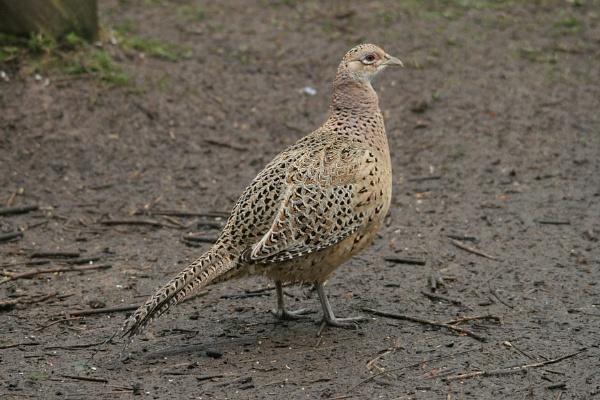 Pleasant Pheasant by Glostopcat