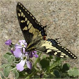 first swallowtail