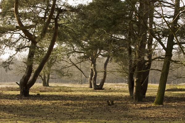 Fir trees by lionking