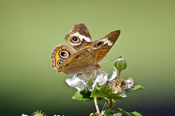 Butterfly on Blackberry by wsteffey