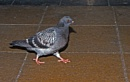 "10-03-12  ""The Pigeon."" by Jestertheclown"