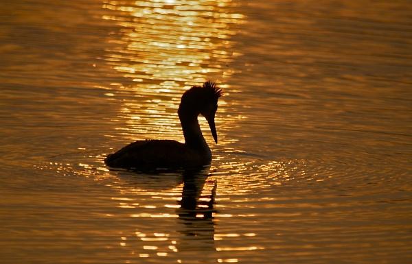 Grebe at Sunset by PaulLiley