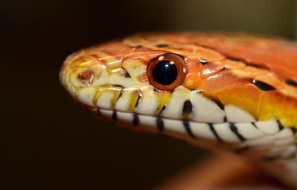 Corn Snake ( Portrait ) by JoshReptiles