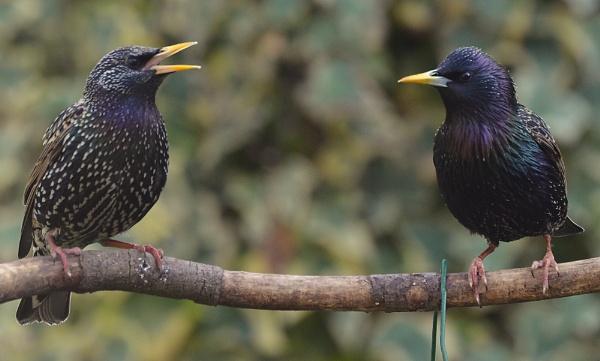 Starlings by JoshReptiles