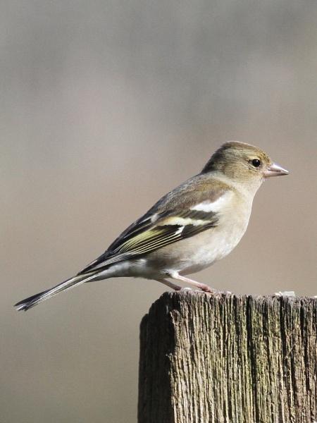 A simple little bird by SueSelley