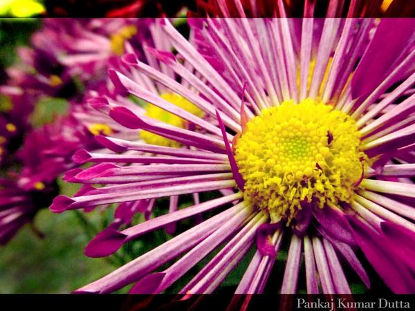 Flower by pankaj_dutta