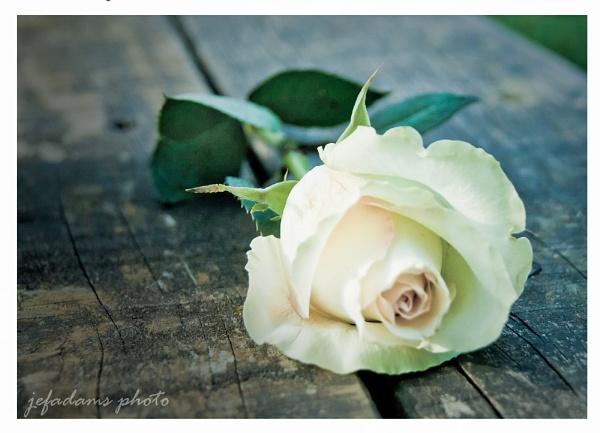 Rose by Doug1