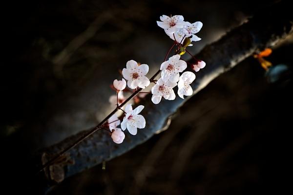 Plum blossom by Newdawei