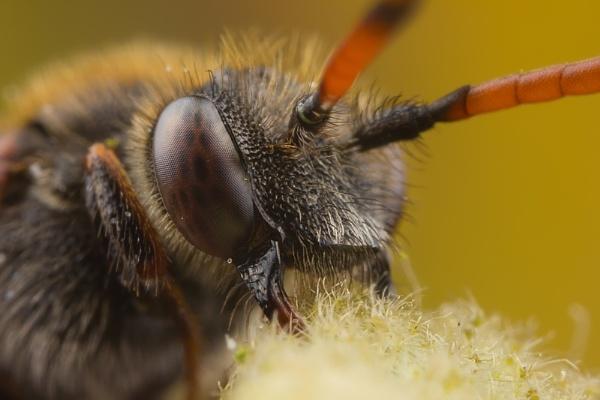 Nomada Bee by abovelifesize