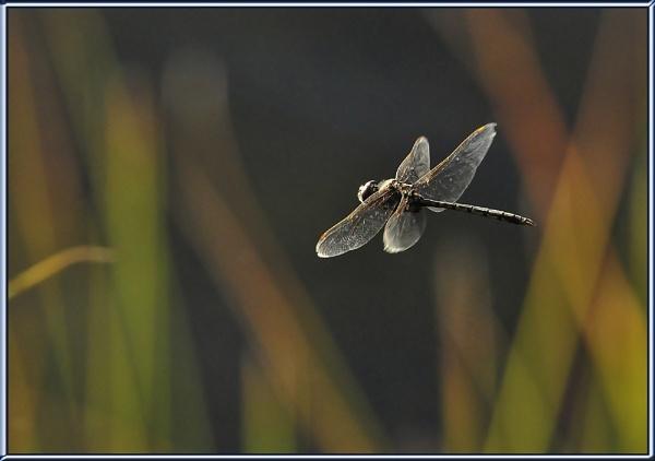 Dragonfly  Flight by Ayoob