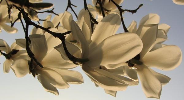 Magnolia kobus by jadaszek