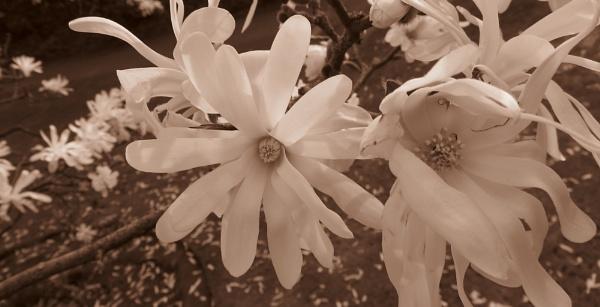 Star magnolia by jadaszek