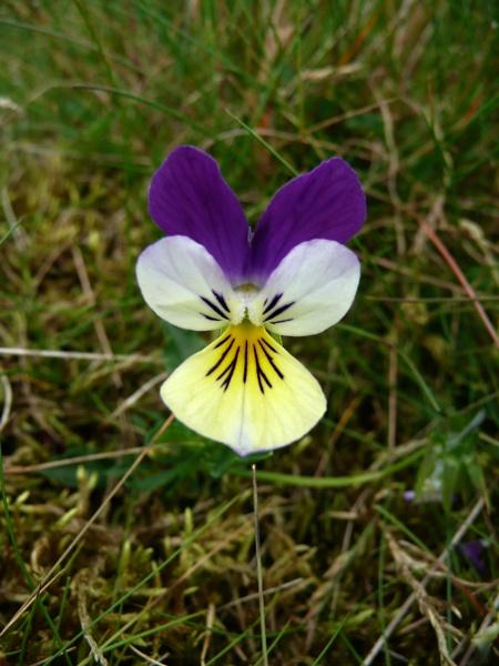 wild Viola by elfies