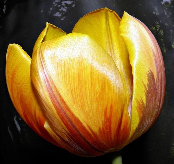 Tulip by DonnaForrest