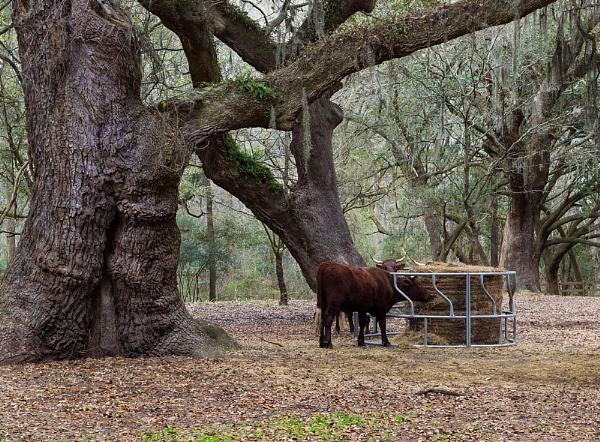 Under a Southern Live Oak by banehawi
