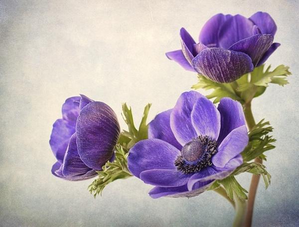 Blue Anemone by cattyal