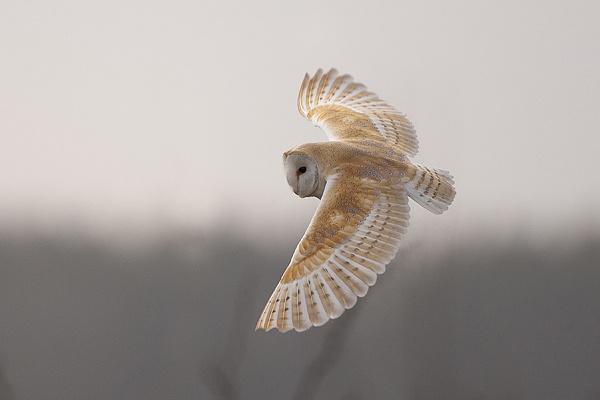 Barn Owl in flight by pronature