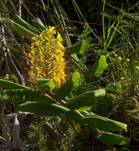 Ginger Plant by chensuriashi