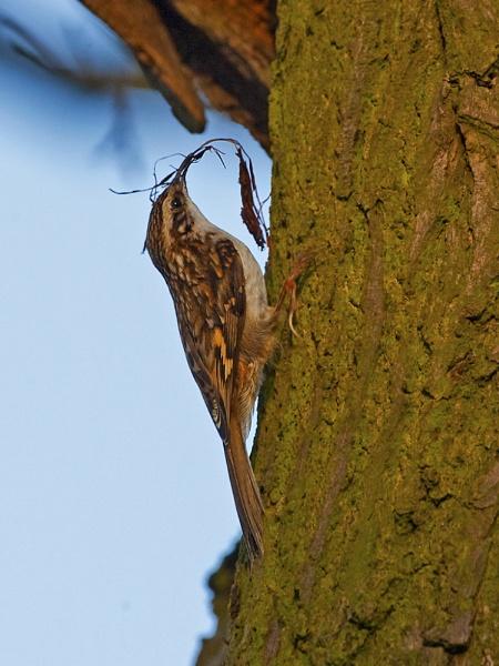 Treecreeper by skewey
