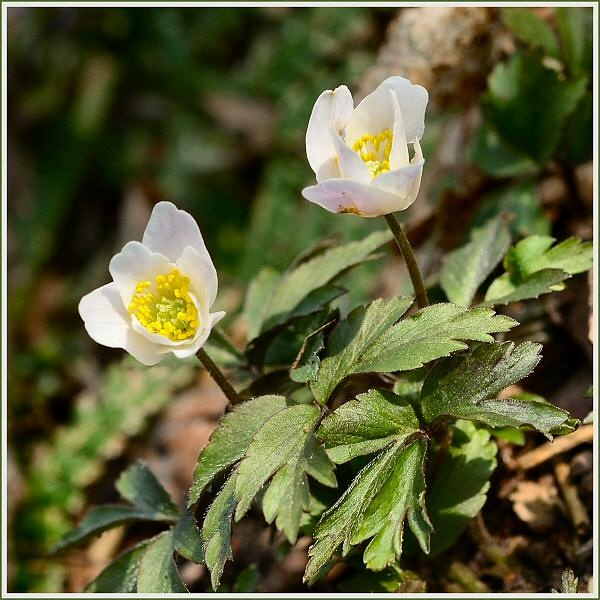 Wood Anemones by JPatrickM