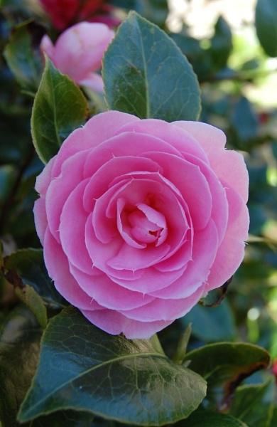Camellia by leginR