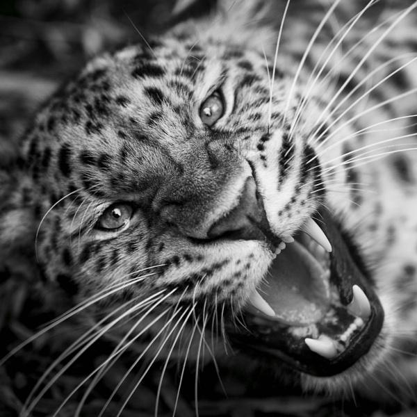 Amur Leopard by DanG