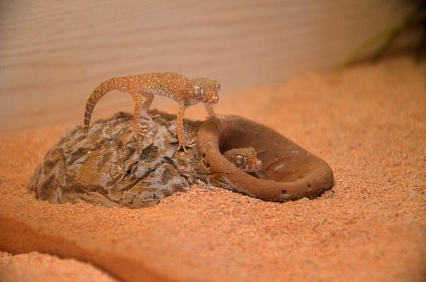Sand Geckos by hippysnapper