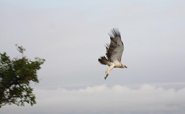 Juvenile Martial Eagle by CraigSev